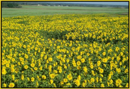 sunflowers copy